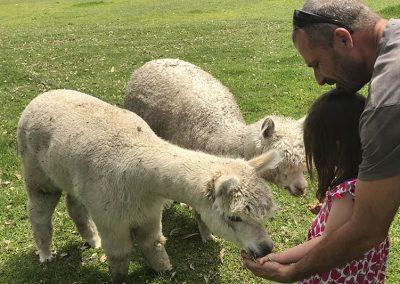 Feeding the alpacas